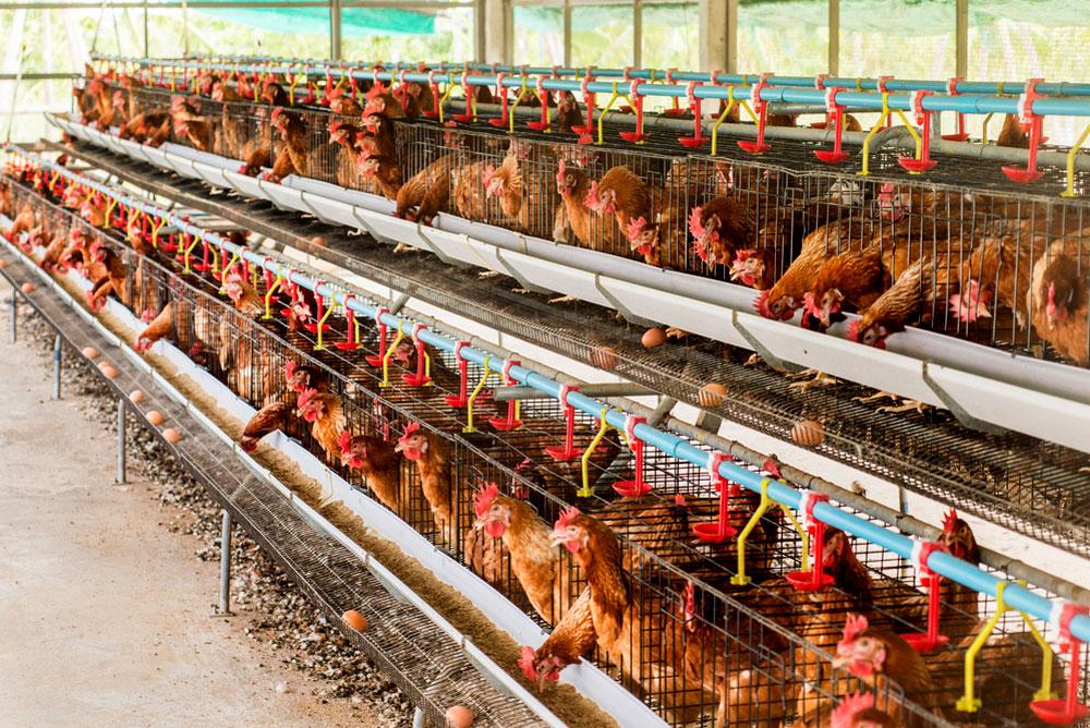 Agroalimentaire et risques : le bien-être animal