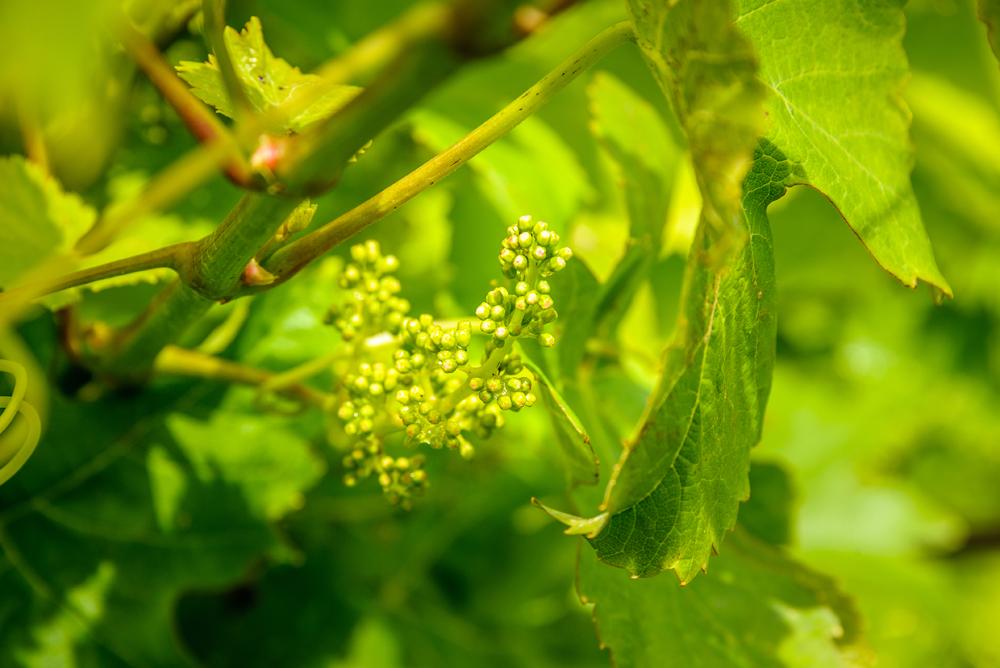 Jeunes raisins sur la vigne