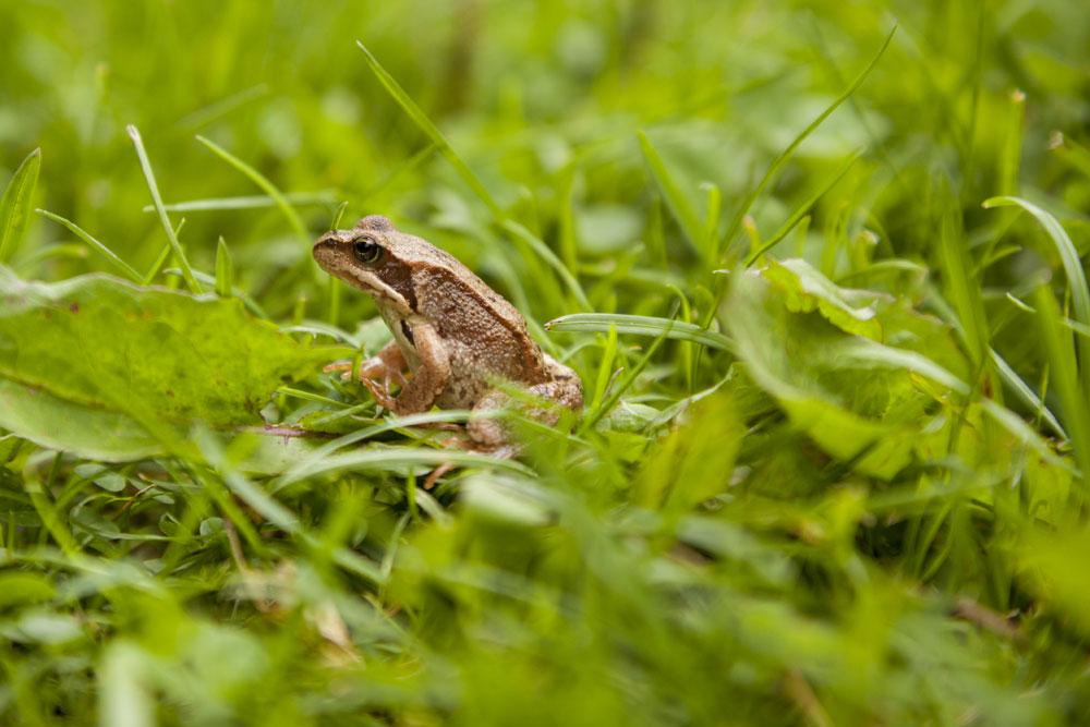 La grenouille des champs en voie de disparition