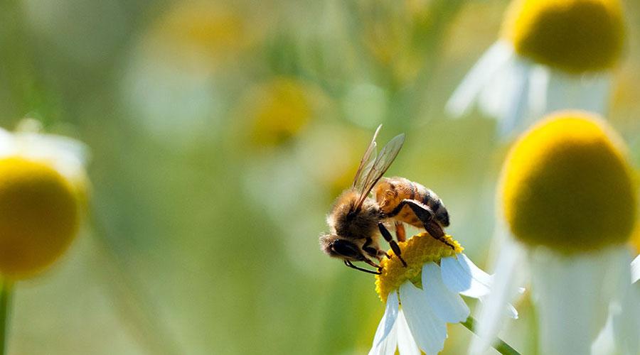 Une abeille posée sur une marguerite